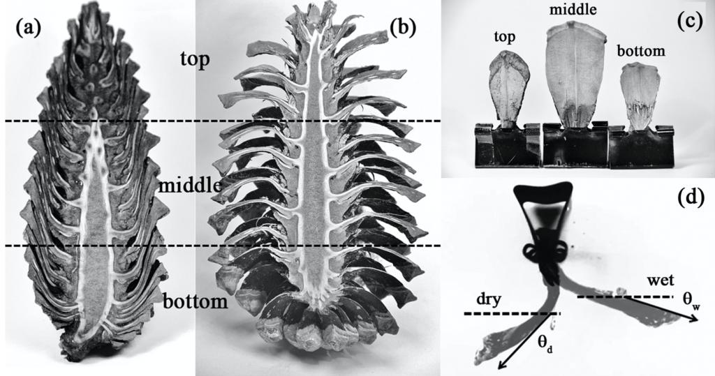 Bionics Describing, understanding biological nastic and tropic systems